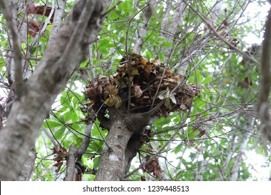Birds nest up in an oak tree in Coral Springs Broward County Florida. Near South Miami Dade, Palm Beach and Central Pinellas, Orange, Orlando and the Space Coast. Made of leaves, sticks, and mud