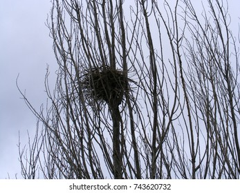 birds nest in poplar tree, pictures of natural birds nest,