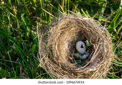 a birds nest rests on the grass outside a tree, but the eggs appear to have already hatched and the baby birds flew the nest