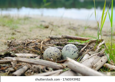 Bird's nest of seagulls with two eggs in it on shore. Two green spotted gull eggs in a nest. Close-up. Two seagull eggs in a nest on the sea beach.