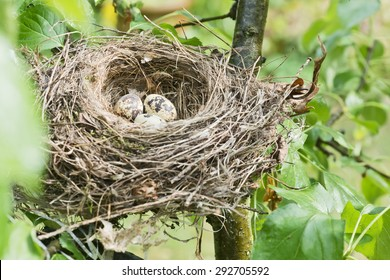 a bird's nest with three eggs in a tree in the garden
