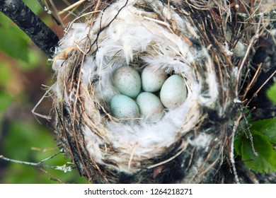 Birds nests guide. Cozy Arctic redpoll (Acanthis hornemanni) white nest in birch tree among the scale lichen. The nesting hollow is lined with partridge feathers. Lapland
