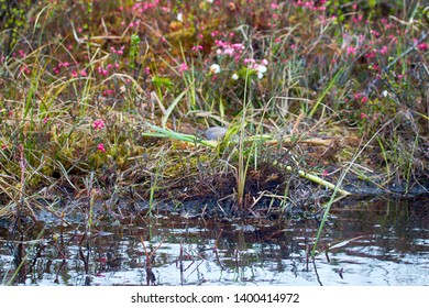 Birds nests guide. Nest of red-throated Loon (Gavia stellata) on swampy lake. Nest at water's edge, surrounded by flowering cloudberry (Rubus chamaemorus), bog rosemary (Andromeda polifolia). Lapland