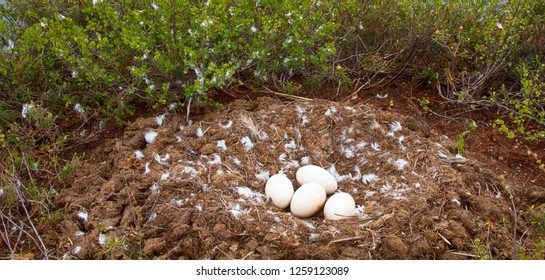 Birds nests guide. Whooper swan (Cygnus cygnus) moss nest on the marsh island is surrounded by a dwarf birch and labrador tea, a lot of down and four large eggs. Lapland, forest area