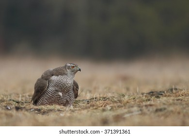 Birds - Northern Goshawk - (Accipiter gentilis)