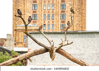 Birds on branches in the shape of deer horns with Latvian Academy of Sciences building ex soviet Stalinist architecture or Socialist Classicism on background. Riga, Latvia