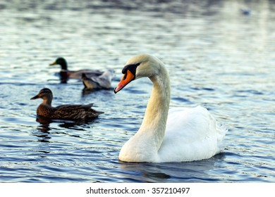 Birds on the lake, couple of ducks and one swan. Water and birds, shallow depth of field. Focused on the swan.