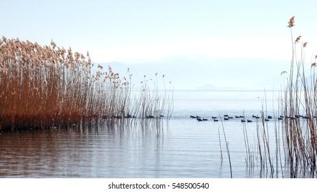 birds on a lake prespa in macedonia in winter