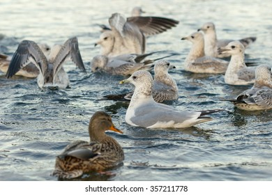 Birds on the lake, seagulls, ducks and swans. Water and birds, shallow depth of field. Focused on the seagull in the center. Eye contact.
