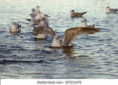 Birds on the lake - seagulls. Water and birds, shallow depth of field. Focused on the taking off seagull.