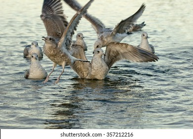 Birds on the lake - seagulls. Water and birds, shallow depth of field. Focused on the seagull in the center..