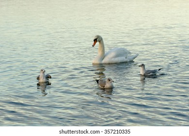 Birds on the lake - swan. Water and birds, shallow depth of field. Focused on the swan.