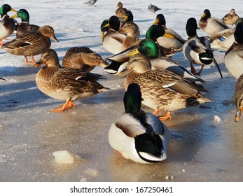 birds on the lake in winter