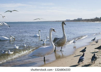 birds on the shores of the Baltic Sea, winter. Seagulls, pigeon and swans walk along the coast