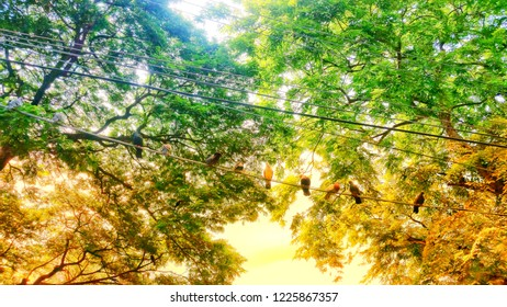 Birds on wires at colorful samanea saman trees background.