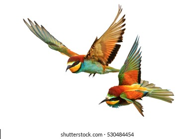 Birds of Paradise fighting in flight isolated on a white background,bee-eaters ,Merops Apiaster