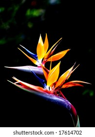 The birds of paradise flower with black background.