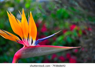 Birds of Paradise in natural background