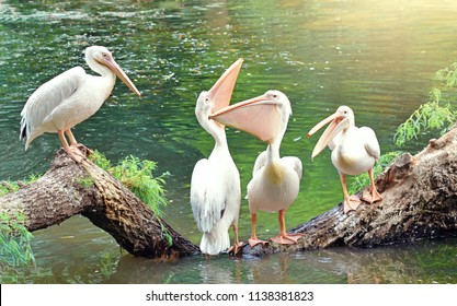 Birds pelicans talking. Funny birds. Animals. Nature.