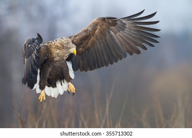 Birds of prey - adult White-tailed Eagle (Haliaeetus albicilla)