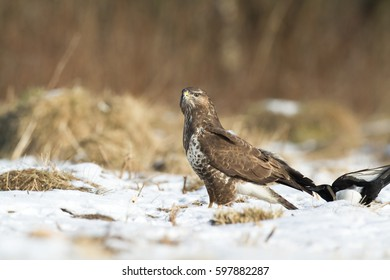 Birds of prey - Common buzzard (Buteo buteo). Hunting time. Winter