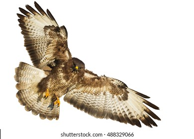 Birds of prey - flying Common Buzzard (Buteo buteo) isolated on white background