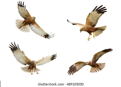 Birds of prey - flying Marsh Harrier (Circus aeruginosus) isolated on white background - mix four birds