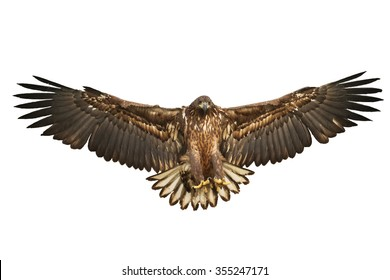 Birds of prey - Flying White-tailed Eagle (Haliaeetus albicilla) isolated on white background