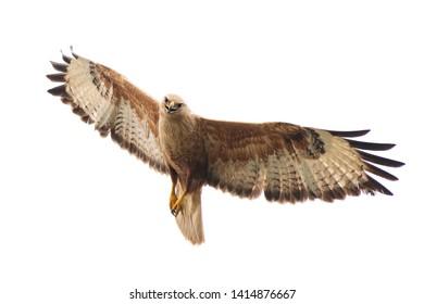Birds of prey - Long legged buzzard, Buteo rufinus, in flight. Isolated on white.