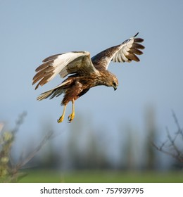 Birds of prey - Marsh Harrier (Circus aeruginosus).