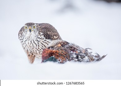 Birds of prey - northern goshawk (Accipiter gentilis) holds his meal in the snow. Wildlife scenery, winter time.