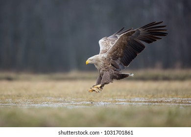Birds of prey - white-tailed eagle in flight (Haliaeetus albicilla)