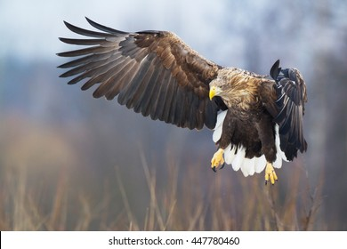 Birds of prey - White-tailed Eagle (Haliaeetus albicilla).