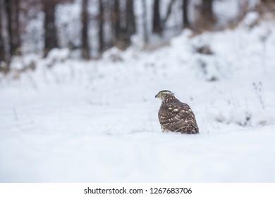 Birds of prey - Young northern goshawk (Accipiter gentilis). Wildlife scenery winter time.