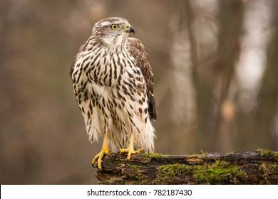 Birds of prey - Young northern goshawk (Accipiter gentilis). Wildlife scenery, Slovakia, Europe.