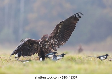 Birds of prey - young White-tailed Eagle (Haliaeetus albicilla)