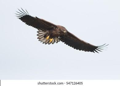 Birds of prey - A young white-tailed eagle in flight (Haliaeetus albicilla)