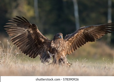 Birds of prey - A young white-tailed eagle in flight (Haliaeetus albicilla)