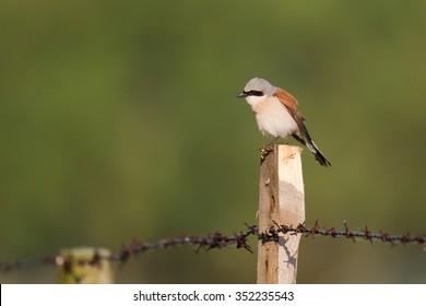 Birds - Red-backed Shrike (Lanius collurio)