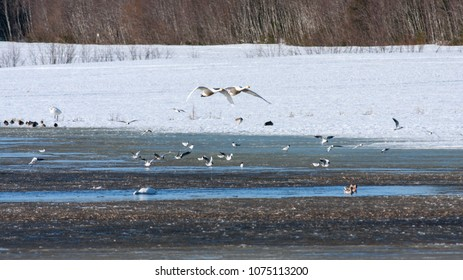 Birds rest in a pond during its migration. Ducks, whooper swan and black-headed gull.