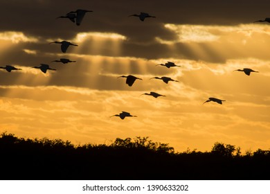 Birds returning to roost at sunset in Everglades