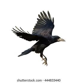 Birds - Rook (Corvus frugilegus) isolated on white background