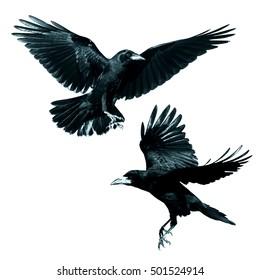 Birds - Rook (Corvus frugilegus) isolated on white background. Mix two birds.