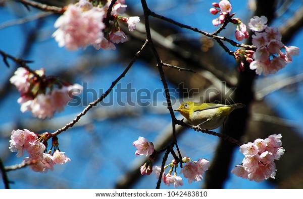 Birds with Sakura