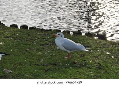 the birds: seagull