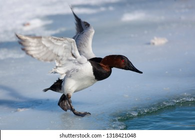 Birds Shorebirds Winter Canvasback Duck Wings Open