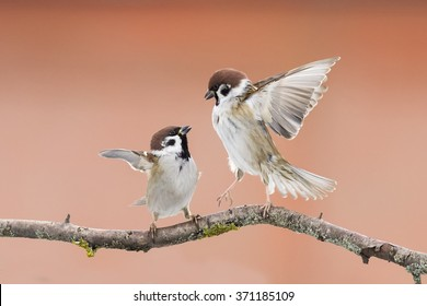birds sparrows staged a showdown outstretched wings on a branch in spring