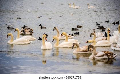 Birds at Swan Lake Crimea