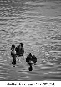 Birds Swimming around the lake