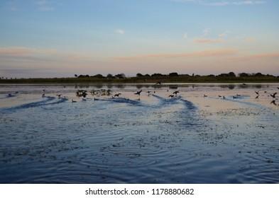 Birds taking off for flight in lake okeechobee Florida